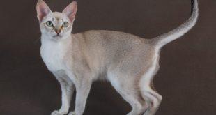 Редкие породы кошек: азиатская табби и тойгер