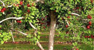samye populyarnye plodovye derevya dlya vysadki v srednej polose rossii